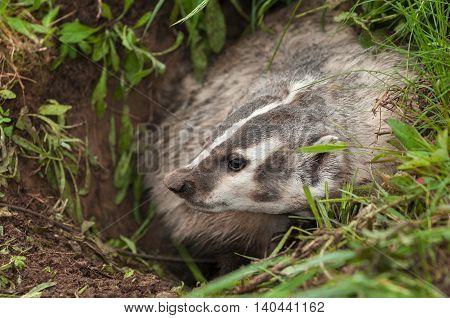 North American Badger (Taxidea taxus) Profile Left - captive animal