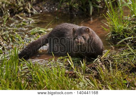 Adult American Mink (Neovison vison) in Marshy Area - captive animal