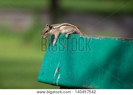 An eastern chipmunk (Tamius striatus) on top of a back rest of a wooden bench in a park in Kolkata