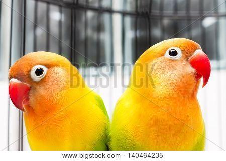 Beautiful Colorful Lovebirds