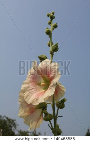 Malva, or Mallow Herbaceous plants to large panicles of bright flowers