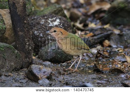 Beautiful bird. Rusty-naped Pitta in nature of Thailand