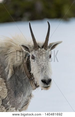 Mountain Goat Looks At Camera