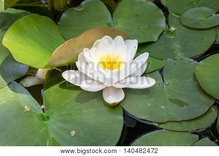 Beautiful white yellow water lily. Nymphaea alba