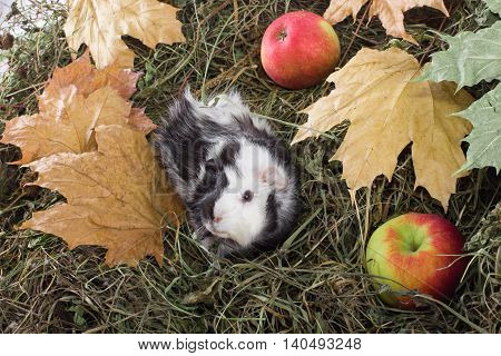 Guinea pig outdoors in hay and leaves