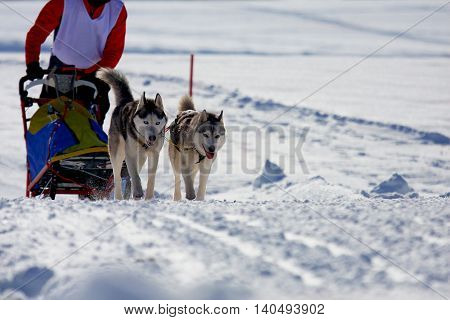 Group of sled dogs running through lonely winter landscape
