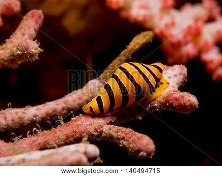 Underwater impage of Yellow And Black Striped Tiger Cowrie