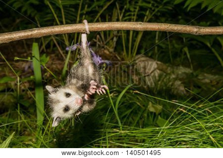 A baby Opossum hanging from his tail.