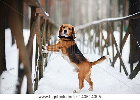 Dog Breed Beagle Walking In Winter, Portrait