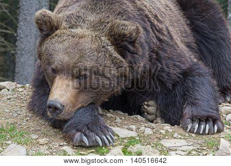 Brown bear sleeping on the ground close-up. Animals