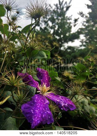 Purple Clematis General Sikorski covered in dew