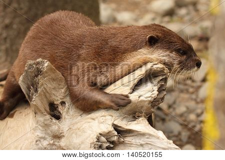 An African Clawless Otter resting on a log along the ocean.