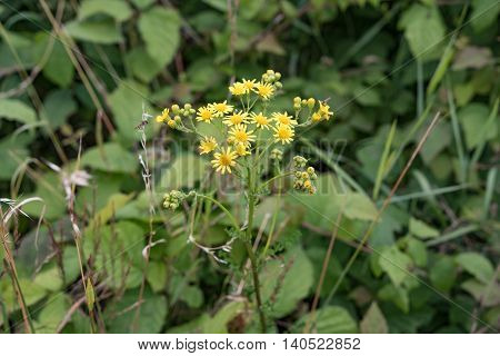 Yellow flowers on green background in Gerrmany