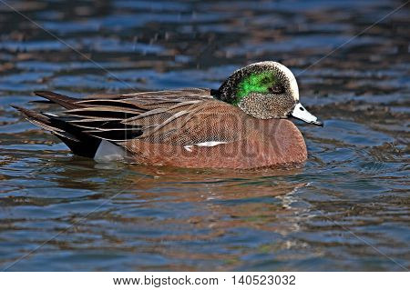 American Wigeon Drake Swimming Along A Lake In New Mexico