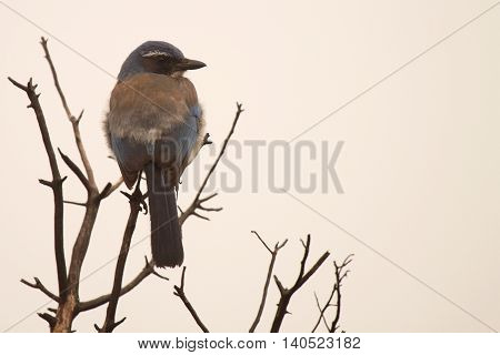 A Scrub Jay perched at the top of a tree in California.