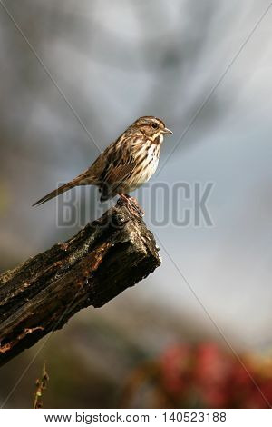 A Song Sparrow Paused At The End Of A Perch In A New York Forest