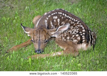 Mule deer or Blacktail Fawn few days old resting in grass