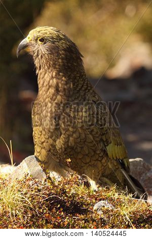 A Juvenile Kea Perked Up In The Mountains Of New Zealand