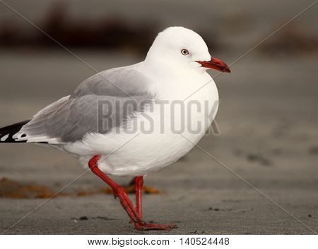 A Red-billed Gull walking along the shore of the Pacific Ocean.