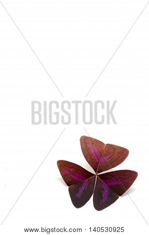 Oxalis purpurea is a species of flowering plant in the woodsorrel family known by the common name purple woodsorrel