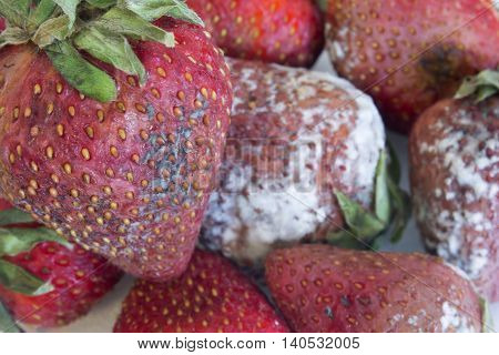 This is a photograph of Rotten moldy Strawberries