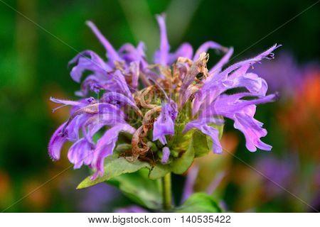 Booming Purple Lavender Horsemint Flower Bee Balm Oswego Tea Bergamot Monarda Plant