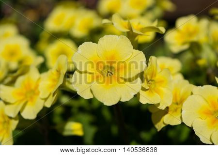 Blooming yellow spring primulas in flower bed