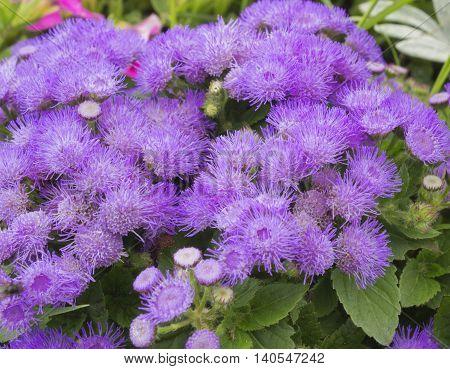 Violet fluffy garden flowers on the flowerbed