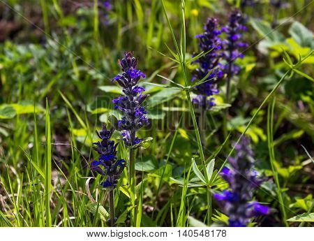 Background with Ajuga reptans blooming warm may sunshine.