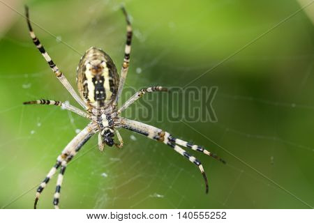 Argiope bruennichi. Spider caught the fly and eats her alive. Spider on a spider web in wild nature.