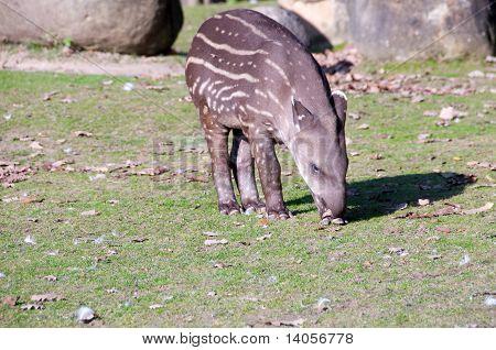 Tapir Baby .