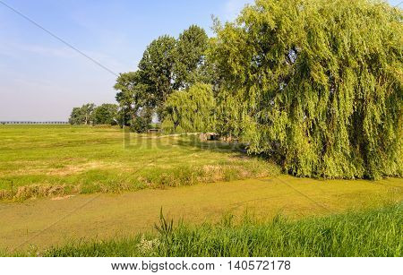 Polder landscape in the Netherlands with a huge weeping willow and a duckweed-covered ditch in the foreground. It's a sunny day in the summer season.