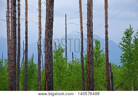 Rare trunks of long ago burnt trees in the coniferous forest in spurs of East Sayan. Buryatia