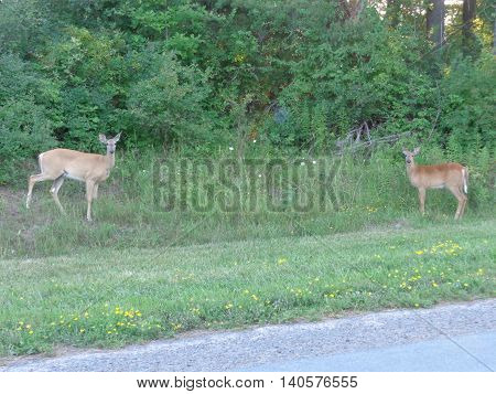 White-tail deer (Odocoileus virginianus) at edge of treeline