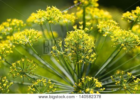 Dill closeup photo. Green aroma umbrella macro stock