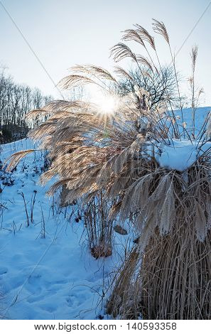 pampas grass cortaderia selloana in wintry park landscape