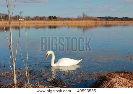swan at lake seeham tranquil scenery bavaria poster