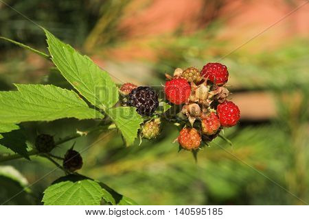 Blackberry bush showing berries in various stages of ripeness.
