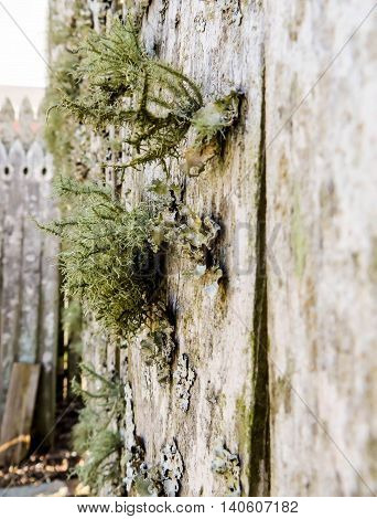 Green moss fungus on weathered wooden fence