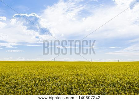 Canola crop farm field with powerlines on horizon