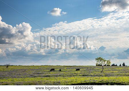 Texas Bluebonnet Filed And Farmland.