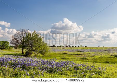 Texas Bluebonnet Filed And Blue Sky In Ennis