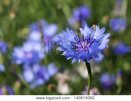 Blue cornflower Centaurea cyanus blossoming on a meadow