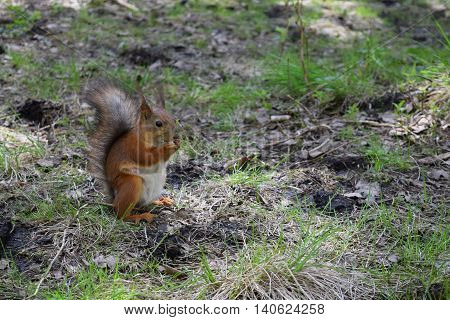 Red squirrel with pap naze and eyes sitting on grass near trees in the forest . Wild furry rodent macro.