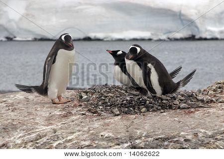 Three Gentoo Penguins And Nest