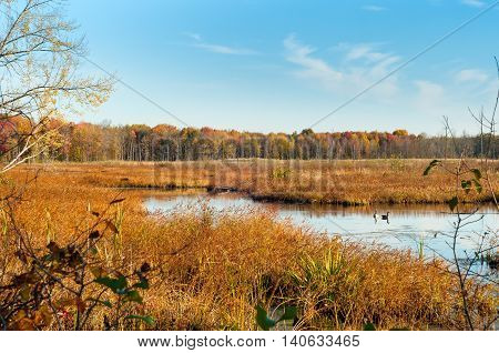 An autumn marsh vista in Northeast Ohio with two Canada geese resting on the water