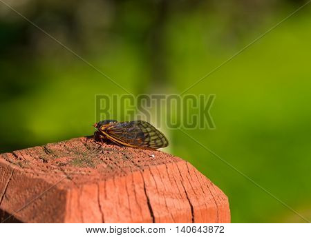 An adult 17-year cicada rests on a fence post a short while after emerging from the ground and molting