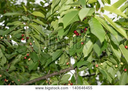 Cherries hanging on a cherry tree branch in Germany