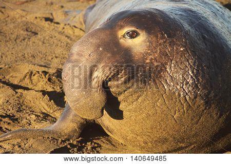 A Large Elephant Seal Bull Resting On A California Beach