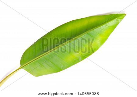 Banana (Other names are Musa banana acuminata Musa balbisiana and Musa x paradisiaca) leaf isolated on white background poster
